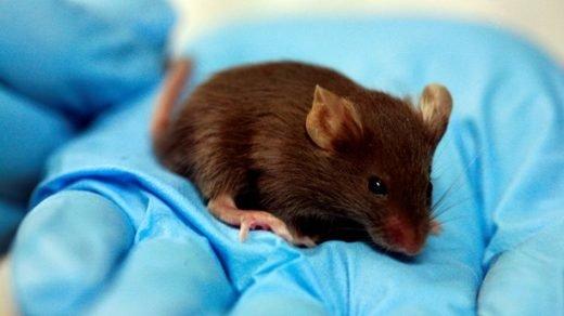 Forskare håller i mus som testats i studie.