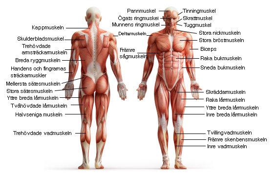 ont i musklerna utan träning