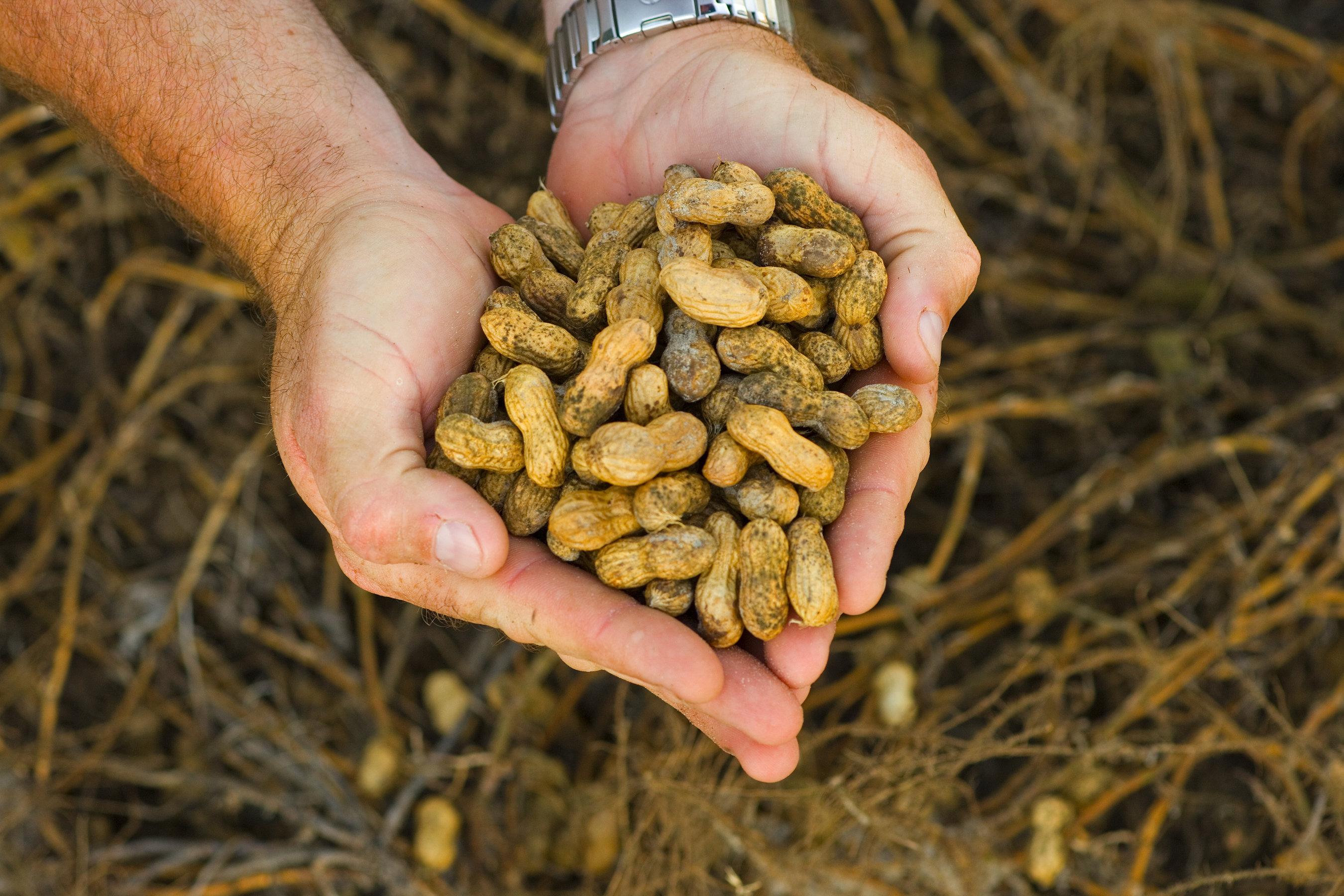 Rostningen framkallar jordnötsallergin