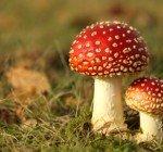 Giftiga svampar