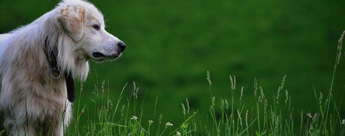 borrelia-hund-fasting-gras