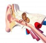 Örats anatomi