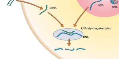 Så fungerar siRNA