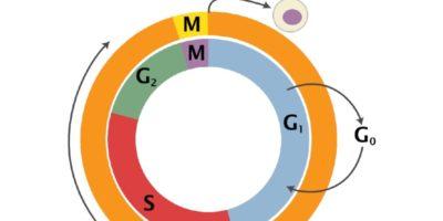 Cellcykelns olika faser