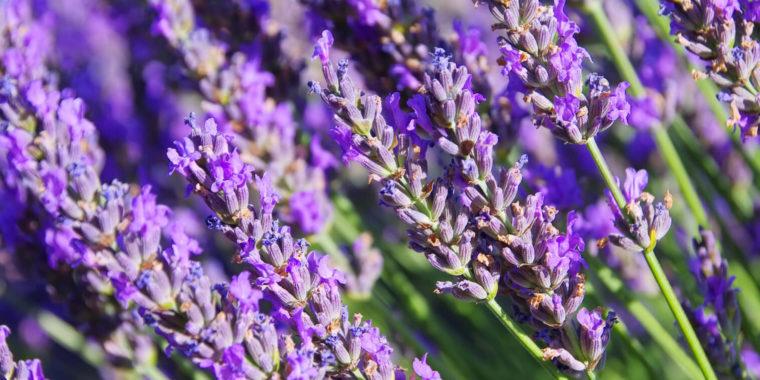 Bild på lavender