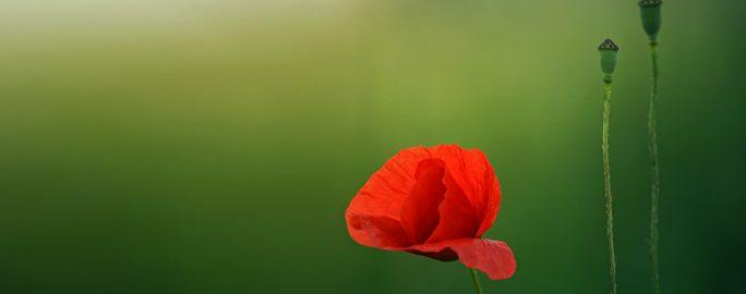 mattlig-mens-rod-blomma
