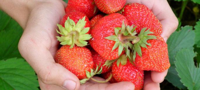 En hög av mogna jordgubbar, ett bär som många blir allergiska mot.