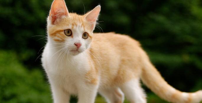 Många som är allergiska som pälsdjur är alltsom oftast allergiska mot katter.