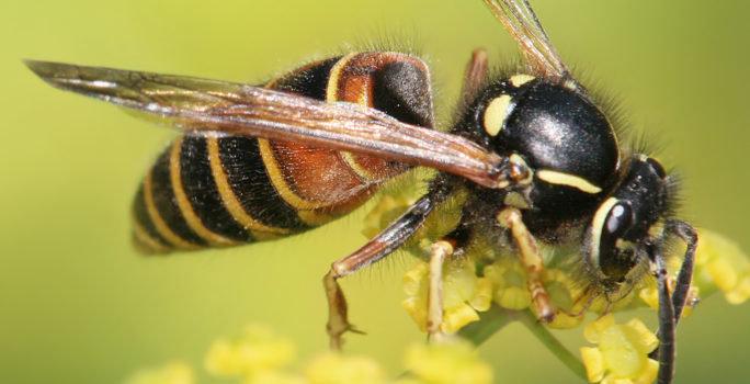 Geting som fångar upp nektar från en blomma.